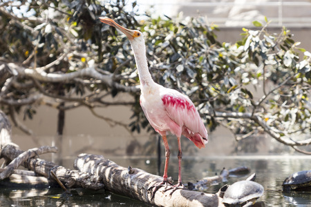 roseate: Roseate spoonbill on the trunk in water