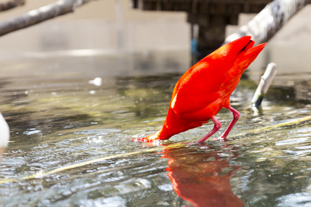 scarlet: A scarlet ibis reflected in the water