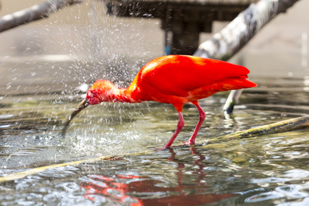 A scarlet ibis reflected in the water