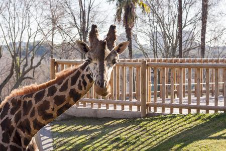 zoo: Frente Jirafa en el Zoo de Madrid Foto de archivo