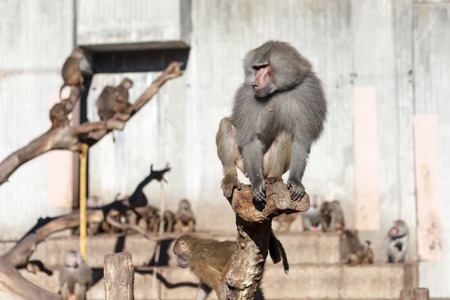 climbed: Papion baboon climbed into a trunk