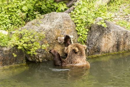brown bear eating in the water