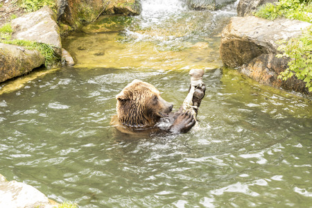 omnivore: brown bear eating in the water
