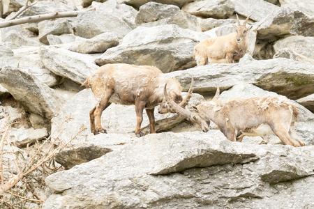 Capra ibex , with rocks in background. Stock Photo