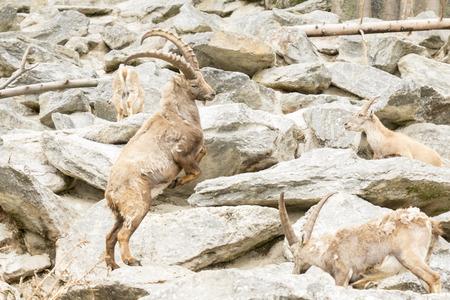 capra: Capra ibex , with rocks in background. Stock Photo