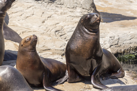 seal brown: sea lions lying on the rocks Stock Photo