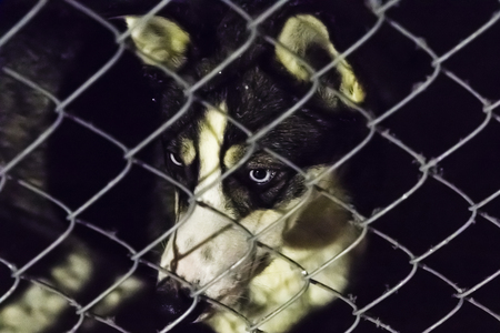 orphaned: Closeup of a husky dog looking through the bars of a cage