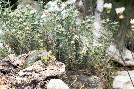 lagartija: Tim�n L�pido, Lacerta lepida, lagarto ocelado en un cami�n