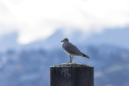 wooden post: One Seagull standing on a wooden post Stock Photo