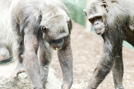 chimpances: Chimpanzee interacting with other chimpanzees at the zoo