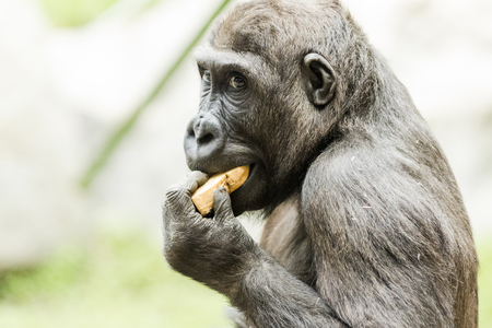 simian: Gorilla in the Munich Zoological park. Germany