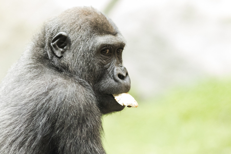 Gorilla in the Munich Zoological park. Germany