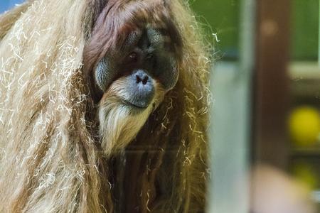 Oranguntan in the Munich Zoological park. Germany