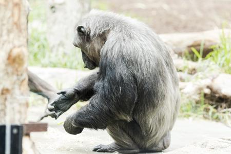 chimpances: Chimpancé interactuando con otros chimpancés en el zoológico