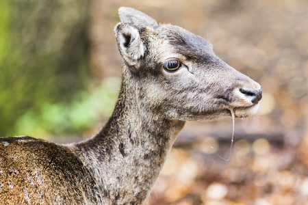 europeans: European red deer in the forest in Autumn Stock Photo