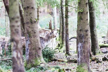 European red deer in the forest in Autumn Stock Photo