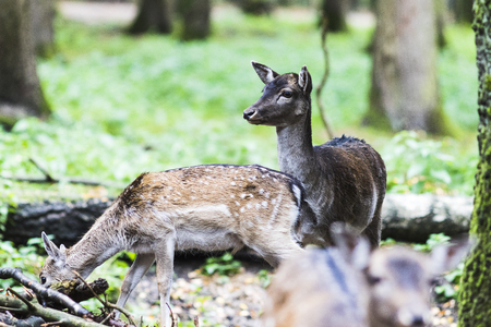European network deer in the forest Stock Photo