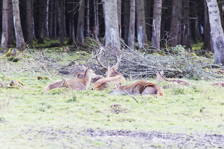 European red deers in the forest in Autumn