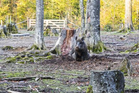 Males Wild-boar fighting in a forest in autumn Banco de Imagens