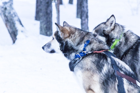 sledding huskies during a break from an expedition Archivio Fotografico - 97880017