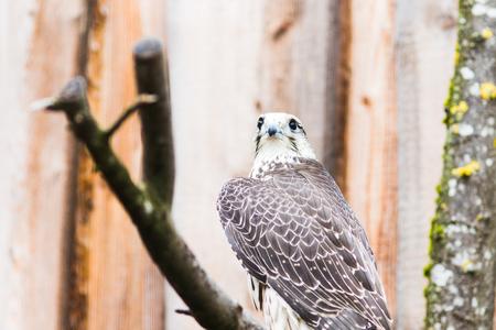 Saker Falcon (Falco cherrug), Bavaria, Germany, Europe