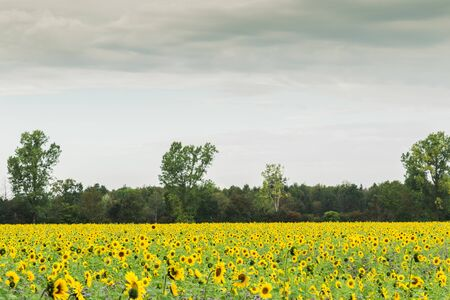A Sunflower field planted to seed for oil production. Foto de archivo