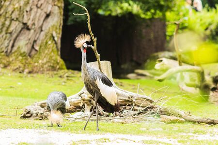 A  grey crowned crane (Balearica regulorum) is a exotic bird with a peculiar hairstyle. It is found in Africa.