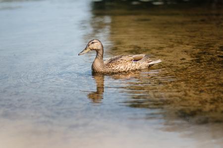 Swimming duck in autumn lake