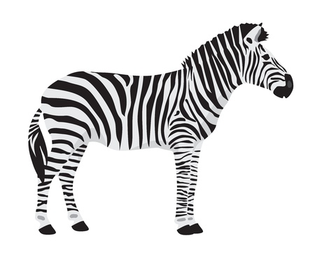zebra on white background Stock Photo - 17130917
