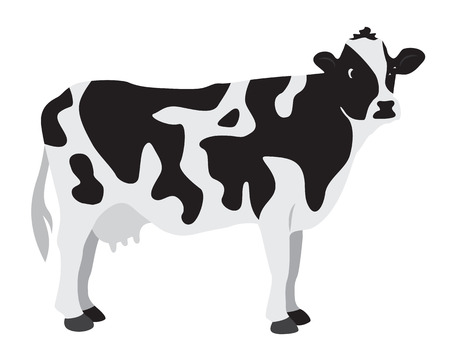 dairy cattle: Cow on a white background