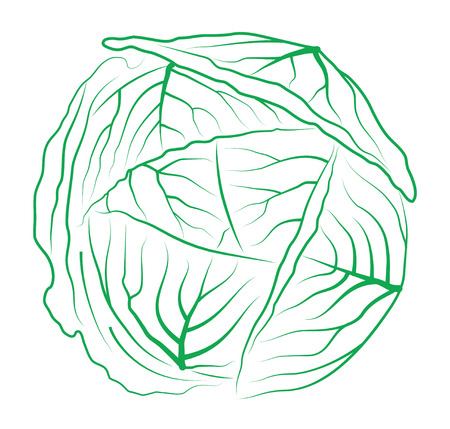 Cabbage on white background Vector