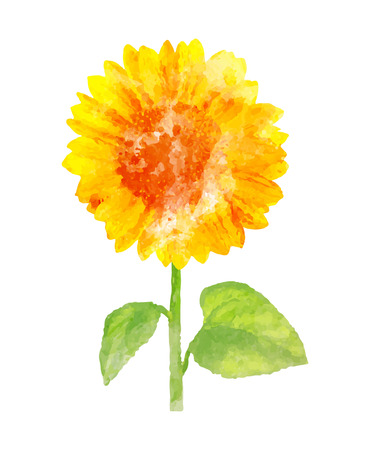 Watercolor sunflower on white