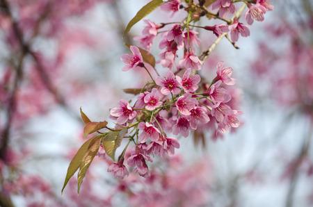 chaingmai: Pink blossom in Chaingmai Thailand