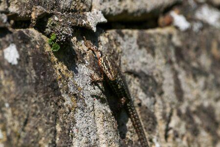 Wall lizard on old brick wall Stock fotó