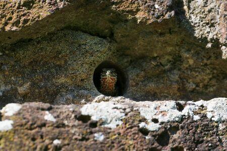 Wall lizard hiding in old brick wall