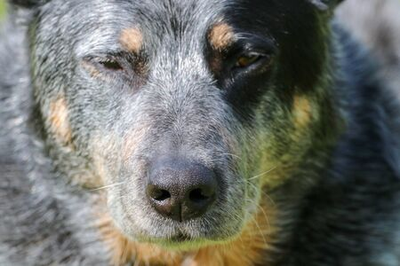 Wolf-like Australian Cattle Dog nose 免版税图像