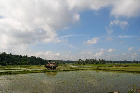Rice fields during summer in Asia