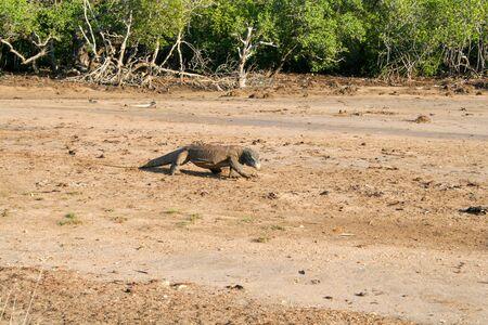 Komodo dragon walking on mud Stock Photo