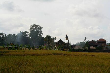 Asian rice fields during summer