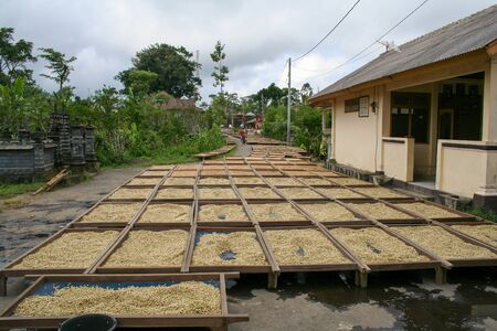 Coffee beans drying in the sun Banco de Imagens