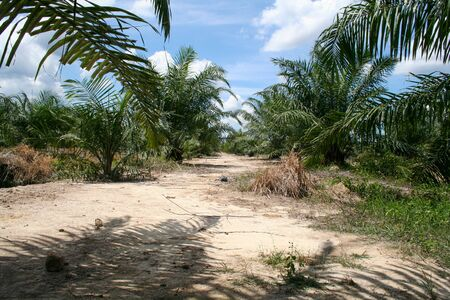 Palm oil plantation in Malaysia