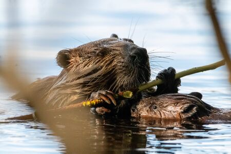 Beaver with baby in lake chewing on wood