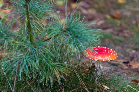 Red mushroom growing on a forest floor