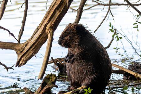 Big beaver sitting upright on shore or Canadian lake
