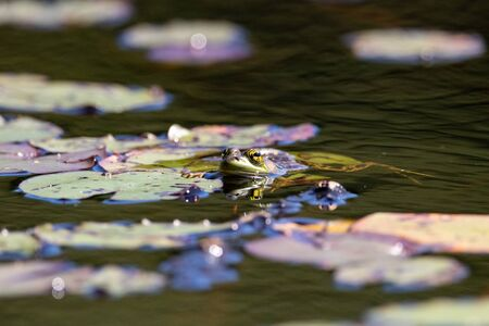 Green frog holding lily pad in water or Hailstorm Creek on a hot summer day