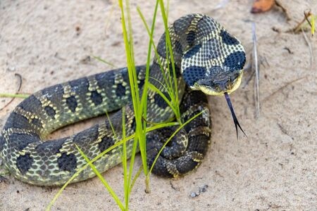 Eastern Hognose Snake with flattened neck on sandy soil with grass