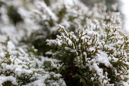 Selective focus of snow on spruce tree