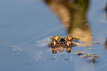 Frontal eye level shot of male and female European Common Toad mating in water