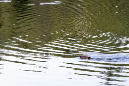 Beaver swimming in Canadian lake