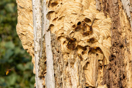 European hornet or giant hornet nest in hollow tree with multiple large killer hornets flying and crawling on top of the nest wide shot